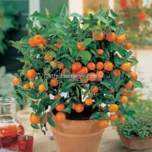 Апельсиновое дерево в кадке