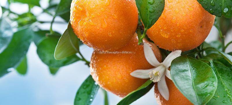 Апельсины на ветках дерева