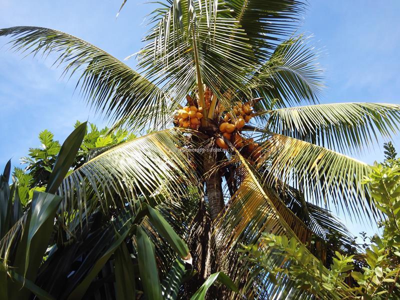 королевский кокос на пальме
