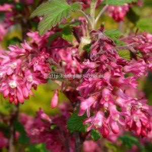 Цветы красной смородины