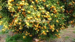 как грейпфрут растёт