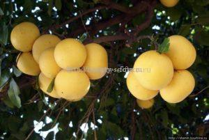грейпфрут на деревьях