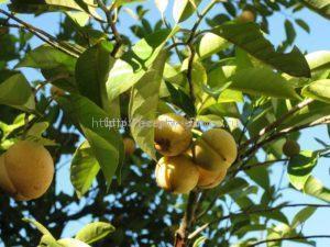 Как растёт мускатный орех