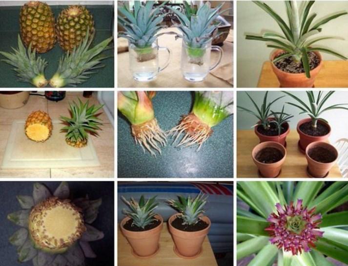 как самому вырастить ананас дома