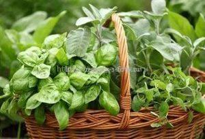 Выращивать базилик можно и дома